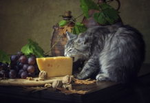 Photo Image Can Cats Eat Cheese Everyday