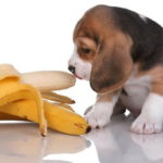 Photo Image Can Dog Eat Bananas It is Safe