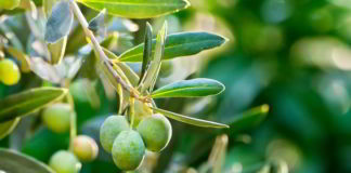 Photo Image Can Dogs Eat Olives Is it safe