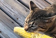 Photo Image Can Cats Eat Corn Is It Healthy