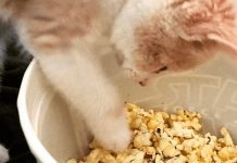 Photo Image Can Cats Eat Popcorn Is It Safe