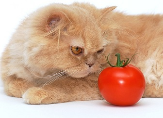 Photo Images Can Cats Eat Tomatoes Is it Healthy